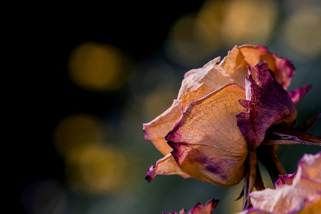 Dried Rose Image